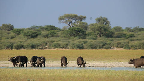 Herd of African or Cape buffaloes (Syncerus caffer Footage