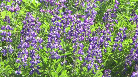 Alpine Meadow Wildflowers 09 Footage