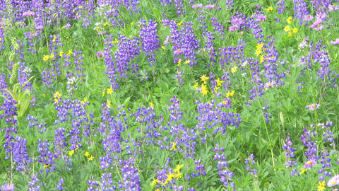 Alpine Meadow Wildflowers 12 Footage