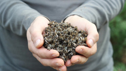 Dead bees. Beekeeper shows hands full of dead bees Footage