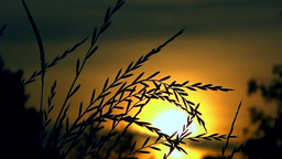 Wild Grass At Sunset stock footage