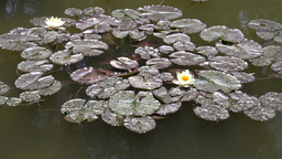 waterlily in a pond Stock Video Footage