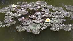 waterlily in a pond Footage