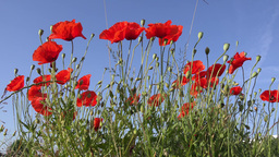 poppy flowers on blue sky background Footage