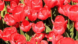 RED TULIPS Footage
