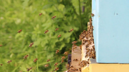 Bees flying into a beehive - slow motion 3 Live Action