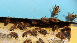 Bees flying into a beehive. 1 Live Action