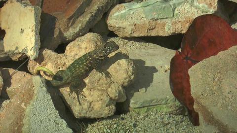 Northern Curly-tailed Lizard (Leiocephalus carinat Footage