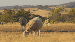 Ewe and Lamb Grazing in a Dry Field With a Flock Footage