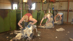 Shearers Shearing Sheep On A Farm In Australia stock footage