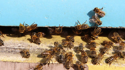 Bees flying into a beehive. 4 Live Action