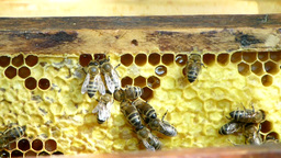 Bees feasting on the honeycomb 1 Live Action