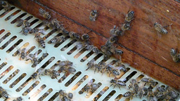 Bees inside the open hive Live Action
