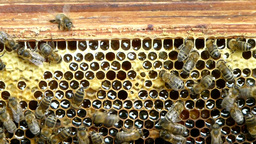 Beekeeper inserting frame full of honey into hive Footage