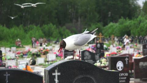Birds, gulls in the cemetery. 4K Footage