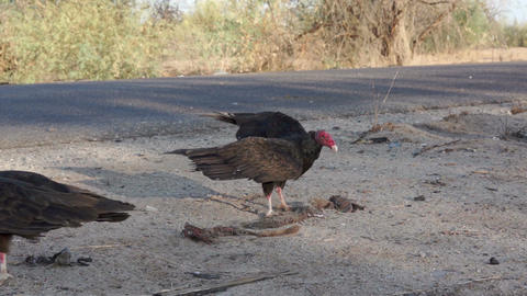 Vultures Picking Carcass Close 1 Footage
