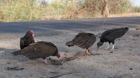 Vultures Fighting over Road Kill Footage