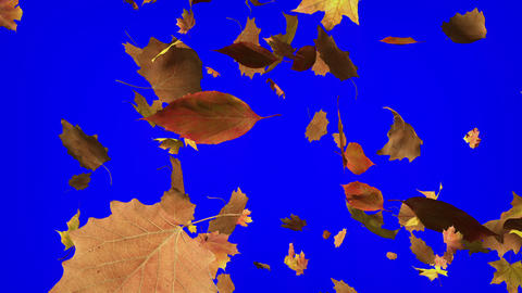 Falling Leafs With Chroma Key stock footage