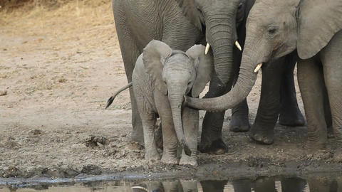 Baby African elephant Footage