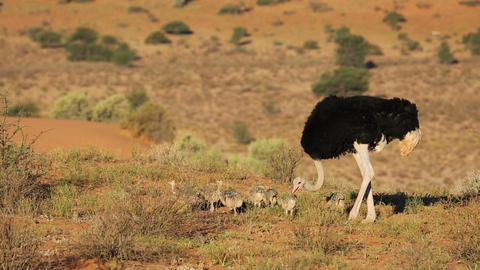 Ostrich With Chicks stock footage