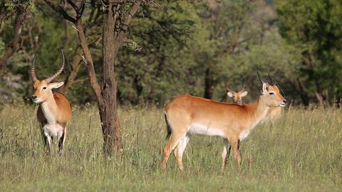 Red lechwe antelopes Footage