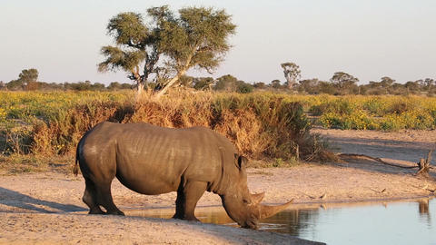 White Rhinoceros Drinking stock footage