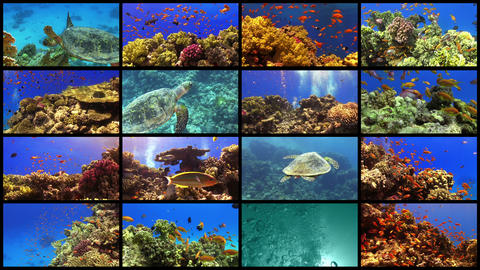 Video Wall Tropical Fish on Vibrant Coral Reef, 4K Live Action