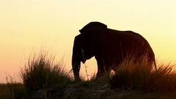 Elephants At Sunset stock footage