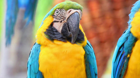 portrait of colorful parrot macaw Footage