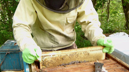 Beekeeper is shaking bees into the hive Live Action