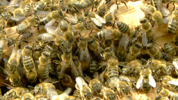 Swarm of bees entering into trap box Live Action