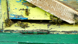 Bees flying into the hive with bee pollen Live Action