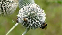 Honey bees and bumblebee collecting nectar Footage