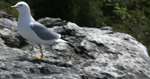 Seagull looking for food on a rock Footage