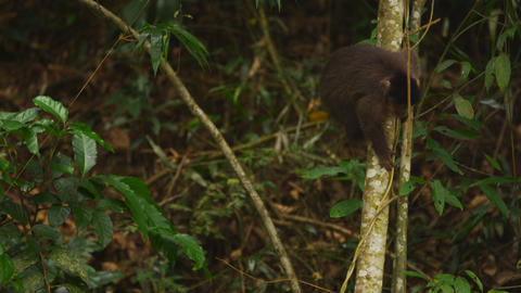 A Capuchin monkey climbs down a tree Footage