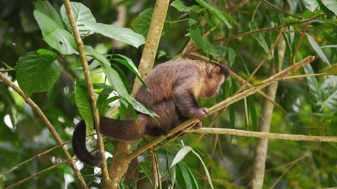 Slow motion footage of a capuchin monkey sitting on a tree branch Footage