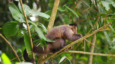 Capuchin monkey in a tree eating a piece of fruit Footage