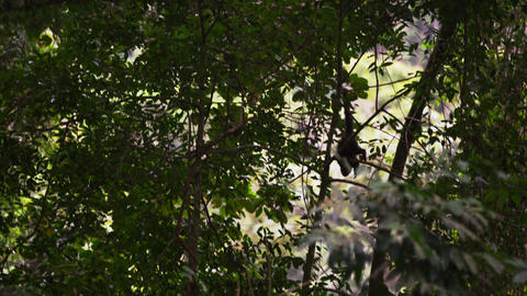 Capuchin monkey climbs down tree branches Footage