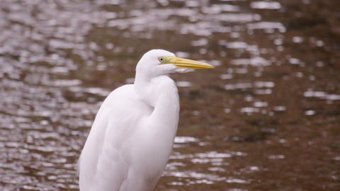 Static Shot Of White Egret Looking Bird With Rippl stock footage