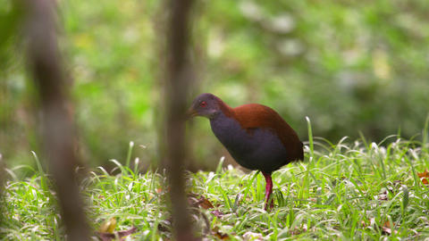 Shot of reddish bird in Rio Brazil Footage