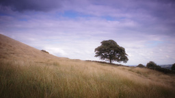 Old Oak tree in a Meadow stock footage Footage