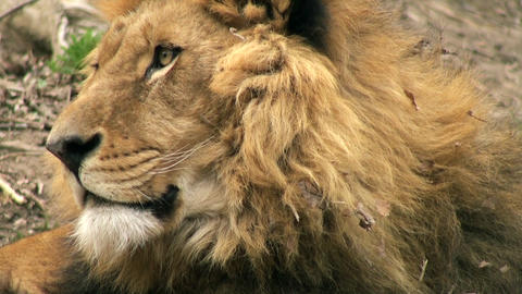 lion resting in nature Stock Video Footage