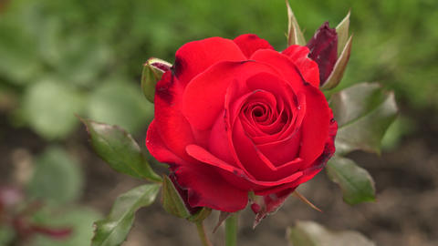 The Red Rose. 4K stock footage