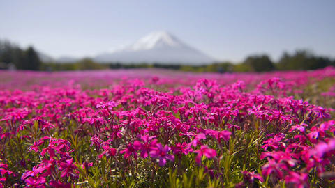 Phlox and Mt.Fuji,in Yamanashi,Japan Footage