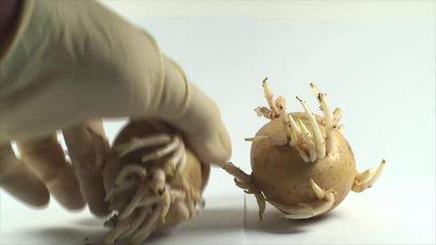 Hand Putting Potato Sprouts, Isolated On White, Re Footage