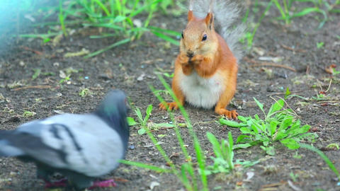 Squirrel and pigeon Footage
