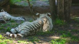 Tiger cubs Live Action