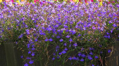 Blue flowers. 4K Footage