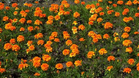 Orange marigold. 4K Footage