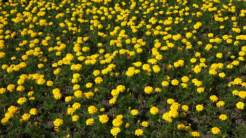 Yellow marigolds. 4K Footage